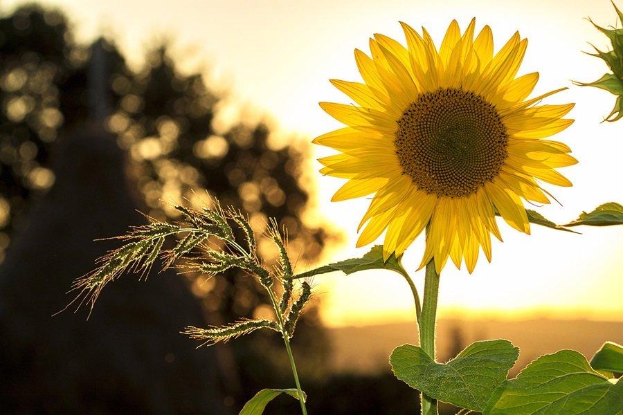 Suncokreti-sunflowers - Page 32 Ewbfpne6f1s